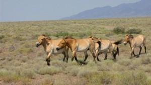 Les chevaux Prjevalski sur le Causse Méjean