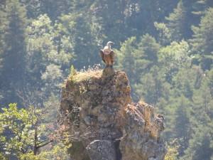 Un vautour dans les gorges de la Jonte